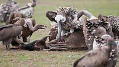 Vulture Feast (Raymond J Barlow) Tags: serengeti wildlife phototours vulture bird travel adventure raymondbarlow