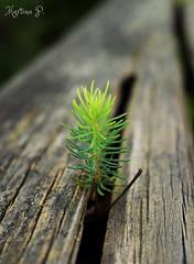 new life...HFF! (martinap.1) Tags: zaun fence green nature plant pflanze nikon d3300 1855mm happy friday freitag outdoor natur pflnzchen hff grn brown braun hellgrn lightgreen