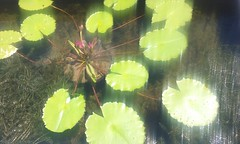 Waterlilies (sftrajan) Tags: aquaticplants nursery elysianfieldsavenue plants faubourgmarigny neworleans samsunggalaxycoreprime 621elysianfieldsave americanaquaticgardens nuevaorleans luisiana estadosunidos themarigny 2016 waterlilies