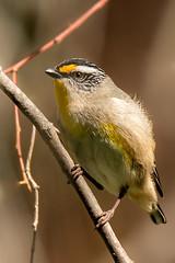 Striated Pardalote (BlueberryAsh) Tags: woodllandshistoricpark birds striatedpardalote greenvale australianbird nikond750 tamron150600