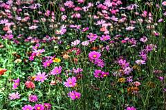 Cosmos Galore (vmax4coco) Tags: flowers cosmos garden nature zinnia summer fall