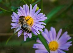 Bee at work II. (JanBures_com) Tags: bee macro honey flower plant detail pink purple