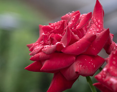 Real Deal. (Omygodtom) Tags: red rose raindrop waterdrops outdoors nature nikon d7100 tamron90mm macromonday bokeh flickr flower