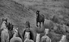 Here he comes. (bainebiker) Tags: horses welshhillside monochrome elanvalley wales