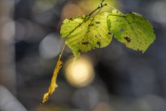 Backlit (Nyllet) Tags: leaves sun twigs sunlight bokeh aschachtulmtravenar13535