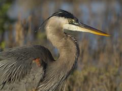BI121119-430-Great Blue Heron (lgooch) Tags: texas greatblueheron southpadreisland ardeaherodias hatchyear taxonomy:binomial=ardeaherodias november2012 southpadreislandbirdingandnaturecenter
