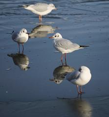 Vain birds! (Wendy:) Tags: ice birds reflections belfield 70200f4l tp399