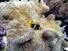 Anemonfish (zwierzory) Tags: fish animal coral redsea scuba clownfish scubadiving reef rafa anemonefish seaanemone ryba koral nurkowanie zwierz morzeczerwone