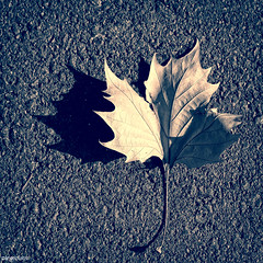 (ángel mateo) Tags: ángelmartínmateo fondón almería andalucía españa otoño hoja seco luz asfalto sombra spain dry autumn leaf light shade asphalt ángelmateo fotocuadrada square photo shadow
