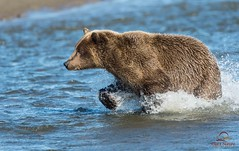 Brown Bear Fishing for Salmon (Glatz Nature Photography) Tags: bear nature alaska wildlife grizzly predator brownbear salmonrun ursusarctos grizzlybear cookinlet lakeclarknationalpark highqualityanimals dailynaturetnc12