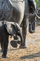"Baby Elephant in Chobe National Park, Botswana • <a style=""font-size:0.8em;"" href=""https://www.flickr.com/photos/21540187@N07/8293289435/"" target=""_blank"">View on Flickr</a>"
