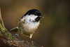 Coal Tit (Nigel Dell) Tags: winter birds flickr wildlife places hampshire fleet fsg coaltit ngdphotos