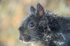 I'm drying off ! (SamSpade...) Tags: reflection window wet closeup squirrel near ninja profile spot ledge resting 481 1352 adorablecritters 52funweeks 111412dec blackandredmix
