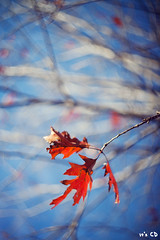 happy end of the world (ExceptEuropa) Tags: street city winter plant color tree washingtondc leaf dof bokeh manualfocus 2012 endoftheworld shallowdepthoffield helios44258mmf2 canon5dmarkii