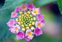 Nature's knack for Lantanas