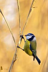 Cinciarella in cerca di insetti (_milo_) Tags: italy bird canon eos italia bokeh tamron oiseau uccello birdwatcher oasi 70300 angera cyanistescaeruleus cinciarella 60d bruschera