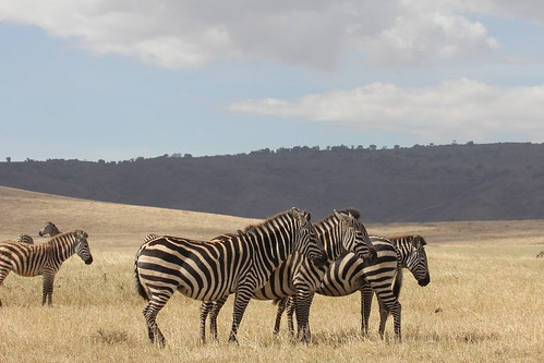 Zebra in Ngorongoro Crater (6)