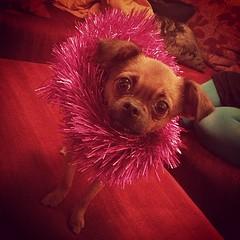 Hyvää joulua! (NiinaKesämaa) Tags: dog pet pets dogs square helmi squareformat mixedbreed griffon brusselsgriffon earlybird russiantoyterrier russiantoy petitbrabancon iphoneography instagramapp uploaded:by=instagram