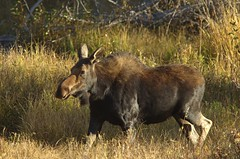 Shiras Moose (Alces alces shirasi) Female DDZ_9593 (NDomer73) Tags: 30september2012 september 2012 tetons mammal shirasmoose grandtetonnationalpark grandteton moose