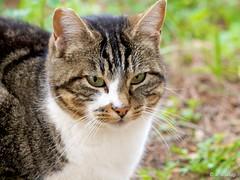 GATO DEL PARQUE. (maclympico321- Hi my friends!!) Tags: wildcat straycat gatocallejero photographyforrecreationeliteclub celebritiesofphotographyforrecreation photographyforrecreationclassic