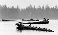 Grave of Trees (TigerPal) Tags: ocean sea tree landscape blackwhite nikon bc britishcolumbia decay driftwood queencharlotte haidagwaii d700 portclements