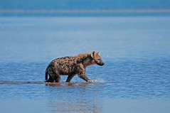 Crocuta crocuta, Nakuru NP003 (Andrew Molinaro) Tags: africa travel lake water kenya hunting safari jaws spotted nakuru hyena scavenger carnivore