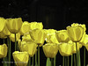 "Yellow Tulips • <a style=""font-size:0.8em;"" href=""http://www.flickr.com/photos/44019124@N04/8311008132/"" target=""_blank"">View on Flickr</a>"