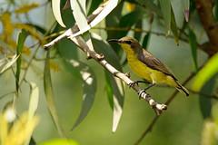 Olive-backed Sunbird (Cinnyris jugularis flammaxillaris) (Dave 2x) Tags: thailand sunbird olivebackedsunbird cinnyrisjugularis yellowbelliedsunbird cinnyrisjugularisflammaxillaris bangphra daveirving httpwwwdaveirvingwildlifephotographycom