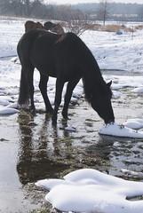 DSC06242 (jmbedel) Tags: winter horses horse snow field december pasture herd 2012 cessnastables