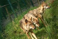 2009-08-03 7D JB 0020# (cosplay shooter) Tags: x201810 100c wolf lupus loup lupo lobo varg ulv susi kurt fortfun