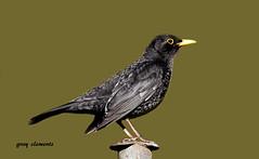 "blackbird ("" yer tis my ansome "") Tags: garden post wildlife feathers devon exeter turdusmerula jpeg blackbird gardenbirds maleblackbird lserieslenses britishbirds canon7d canon300mmf28lisusm mygearandme mygearandmepremium canon14mk111tc"