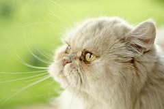 tula (carlos castilho) Tags: cat gato felino