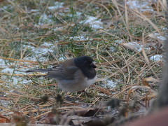 Oregon junco - still a dark-eyed junco (psiegle) Tags: junco darkeyedjunco oregonjunco
