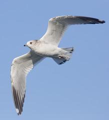 Just another cute Mew Gull (Hockey.Lover) Tags: birds gulls redwoodshores sanmateocounty mewgull radioroadponds