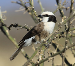 Northern White-crowned Shrike (Ingeborg van Leeuwen) Tags: birds ethiopia shrike awash passerines eurocephalus eurocephalusrueppelli ruppelli eurocephalusruppelli