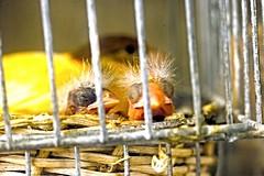 NEW LIVES (Gianlibero Melandri) Tags: italy birds little farm country campagna lives chicks vita pulcini piccoli cattoria