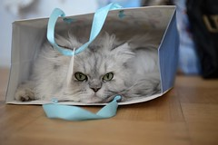 Gift (akk_rus) Tags: pet cats pets nature animal animals cat persian chats nikon feline chat russia moscow chinchilla gato 28 nikkor marcello moskau d800 moscou москва кошка россия кот 3570 коты supershot nikkor357028 nikond800