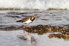 Turnstone (-Filippos-) Tags: nature water birds cyprus waders ruddyturnstone turnstone ruddy kypros arenariainterpres