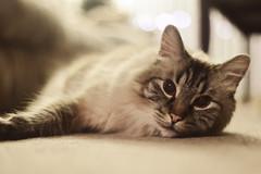 60/365 (Kristacher) Tags: portrait pet cats pets cat project day 365 365project