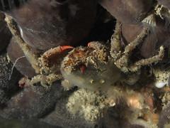 Herbstia condyliata (Centro Sub Monte Conero) Tags: mar mediterraneo mare centro crab muck conero numana nord grotte sabbia adriatico ancona granchio sirolo benthos crostaceo decoratore mascheramento herbstia condyliata