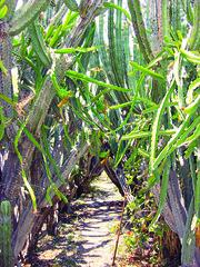 Plantas de pitaya y pitahaya (pitayapitahaya) Tags: puebla dolores hidalgo stenocereus hylocereus huitziltepec