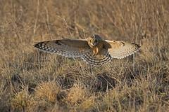 Short Eared Owl (Nikon-gearhead) Tags: wild canada bird birds animals closeup vancouver flying nikon scenery bc wildlife parks insects landing short ear owl nikkor d800 eared d300 shortearedowl asioflammeus nikongearhead