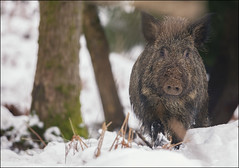 Wild Boar In Snow (Ben Locke (Ben909)) Tags: wild nature wildlife boar forestofdean wildboar susscrofa