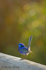 Splendid fairy-wren. (Jennie Stock) Tags: backlight denmark breeding backlit plumage bluewren malurussplendens splendidfairywren avianexcellence