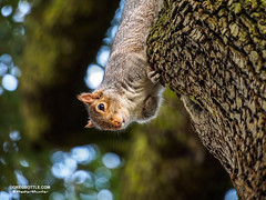 Squirrel looking down from a tree (thesharkhunter) Tags: uk nature animals squirrels wildlife urbannature wildlifephotography greysquirrels gregbottle