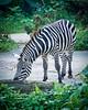 Zebra (Jon Durman) Tags: animals zoo blackwhite nikon stripes wildlife zebra april 2012 singaporezoo nikond700 nikon28300mm