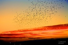 Millions of birds (Juha Jousi) Tags: sunset sky chicago color birds shapes swarm formations starlings millions phenomenon michiganlake canoneos1100d