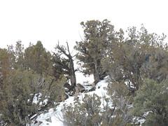 1-31-13 Diamond Gather (BLM Nevada) Tags: wild horse diamond complex wildhorses blm gather bureauoflandmanagement whb wildhorseandburro