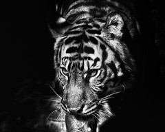 Indah  - Sumatran Tiger (Sumatra-Tiger) Tags: portrait blackandwhite bw toronto animal cat wonderful asian zoo tokyo blackwhite spain mr ueno kali tiger anger dating beast date indah aggressive tijger carnivorous tigris tigre bigcats pms sumatran fuengirola hypnotic the spaniard  predetor uenozoologicalgardens flesheating amanandawoman sumatratiger tygr tiikeri  unhommeetunefemme pantheratigrissumatrae sumatraansetijger angrytiger rengat asiancat brytne likesomeoneinlove tigredesumatra unuomounadonna khunde  sumatrantiikeri flickrbigcats harimausumatera   unhombreyunamujer sumatrakaplan tygrsumatersk tygryssumatrzaski tigercouple  szumtraitigris      hsumatra einmannundeinefrau enmanochenkvinna sumatrantigercouple