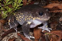 Giant Burrowing Frog (Heleioporus australiacus) (Gus McNab) Tags: giant frog burrowing heleioporus australiacus